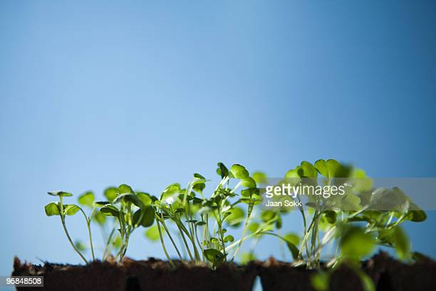 Young rucola plants