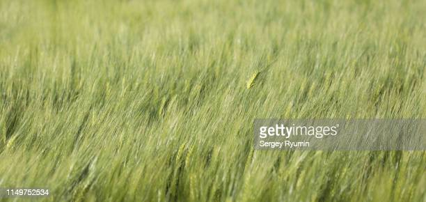 young rye field as a background - ivraie photos et images de collection