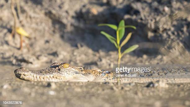 Young Saltwater Crocodile