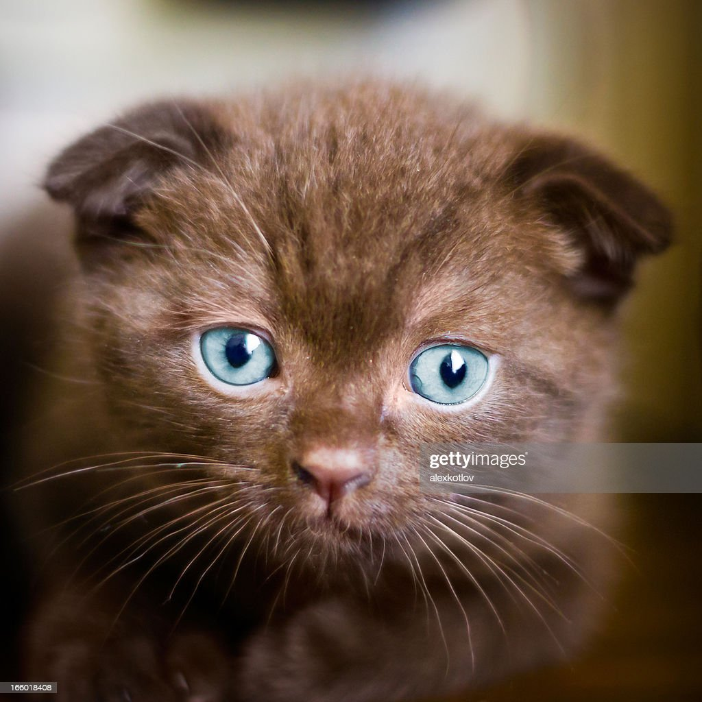 Young Scottishfold Cat Looking Into Camera Stock Photo