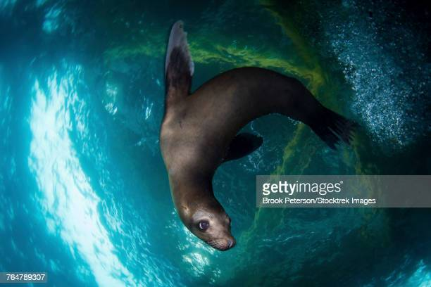 A young sea lion plays under the an oil rig platform, Southern California.
