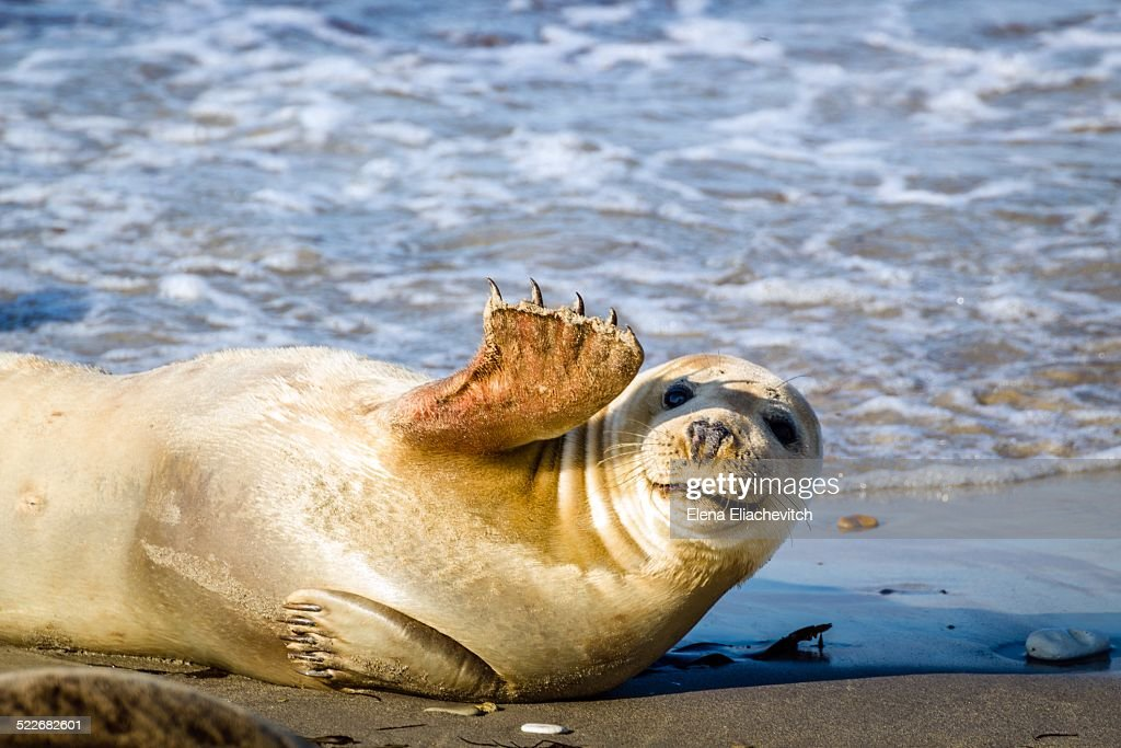 Young gray seal, Halichoerus grypus, smiles and waves. Helgoland, Schleswig-Holstein, Germany.