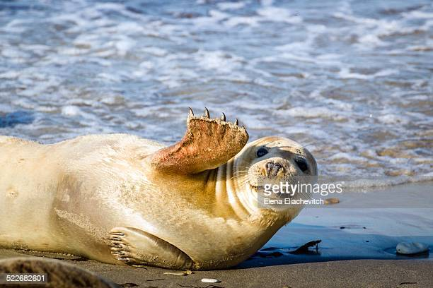 young seal smiles and waves - waving gesture stock photos and pictures