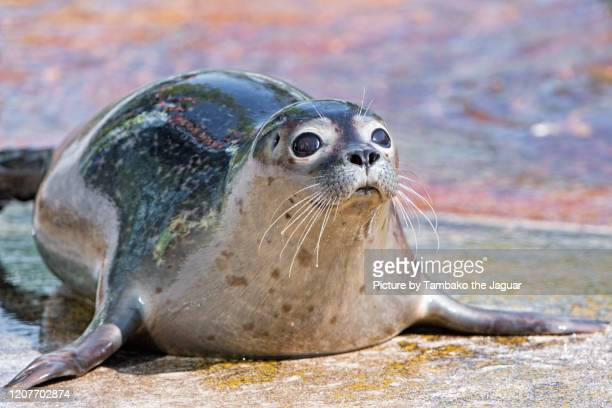young seal with big eyes - leopard seal stock pictures, royalty-free photos & images