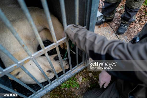 A young sedated polar bear called Nanuq is placed in a cage as veterinarians from the Mulhouse Zoological Park in eastern France prepare to transfer...