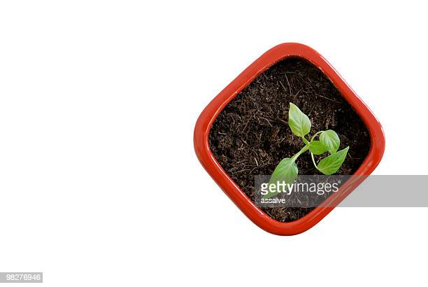young seeding of a chili plant in red flowerpot (1)