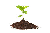 Young seedling growing out of soil over a white background