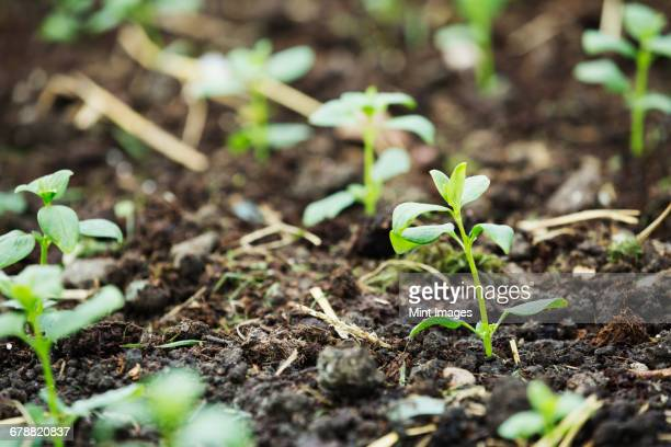 Young seedlings in the soil at an organic flower nursery.