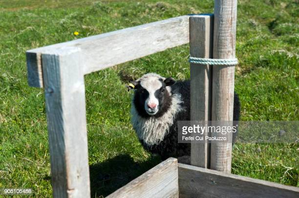 a young sheep - icelandic sheep stock photos and pictures