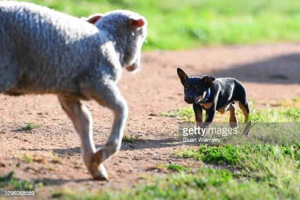 young sheepdog stares down lamb - オーストラリアンケルピー ストックフォトと画像