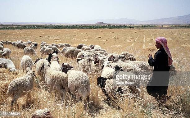 A young shepherd herds his flock of sheep near Irbil in northern Iraq | Location Irbil Iraq
