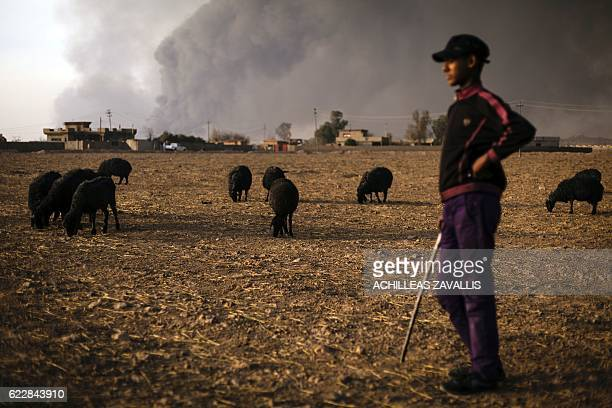 Young shepherd watches over his flock of sheep, their fleece blackened by smoke from burning oil wells set ablaze by Islamic State jihadists before...