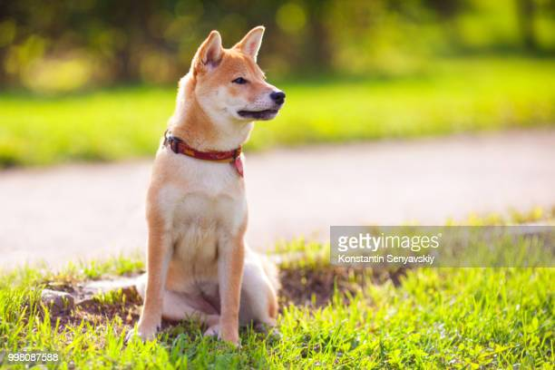 A young shiba inu sits in the park