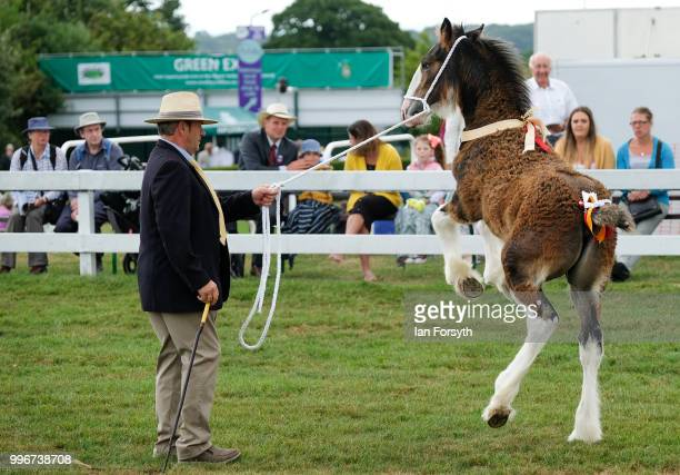 A young shire horse foul reacts during the 160th Great Yorkshire Show on July 10 2018 in Harrogate England First held in 1838 the show brings...