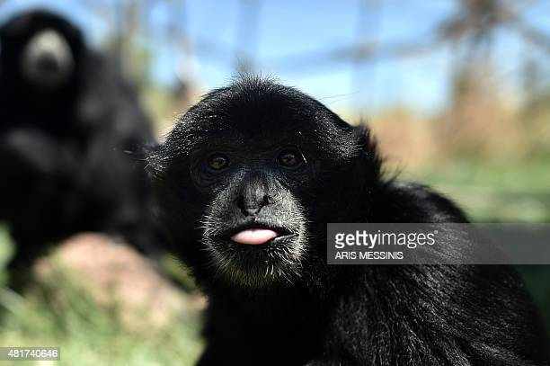 A young Siamang Gibbon looks on at the Attica Zoological Park in Spata near Athens on July 23 2015 Between a zoo struggling to import food for its...