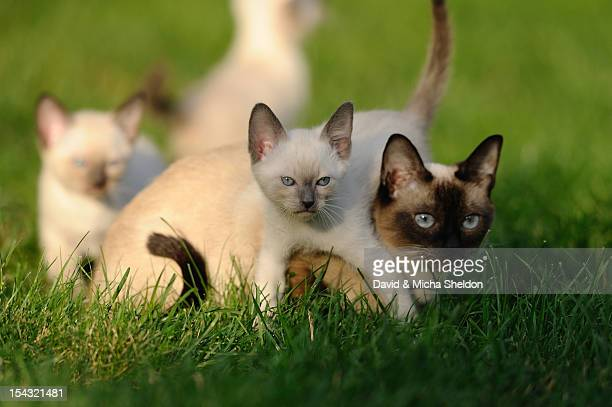 young siamese cats in grass - puss pics stock photos and pictures