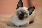 Young siamese kitten. Cute cat with beautiful blue eyes.