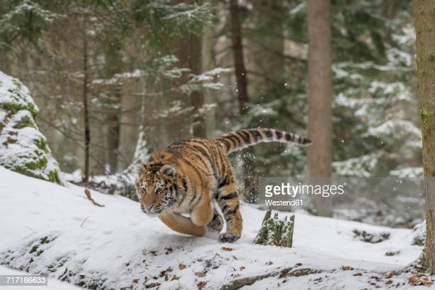 Young Siberian tiger hunting in forest in snow