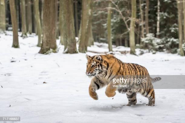 young siberian tiger hunting in snow - animales cazando fotografías e imágenes de stock