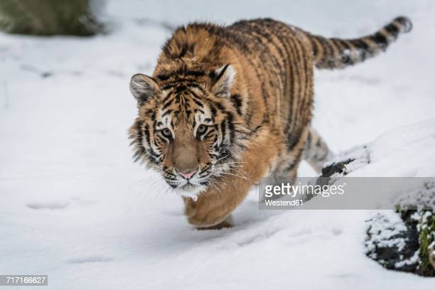 young siberian tiger prowling in snow - siberian tiger stock pictures, royalty-free photos & images