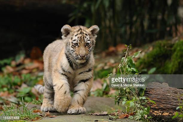 Young Siberian tiger (Panthera tigris altaica) walking