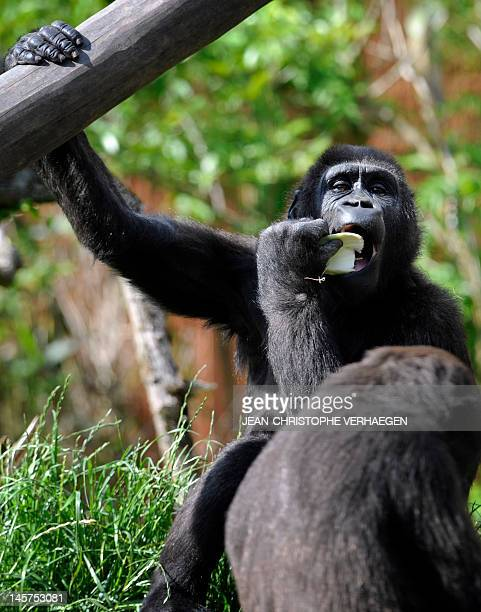 A young silverback gorilla is pictured at the zoo of the French eastern city of Amneville on June 5 2012 AFP PHOTO / JEANCHRISTOPHE VERHAEGEN