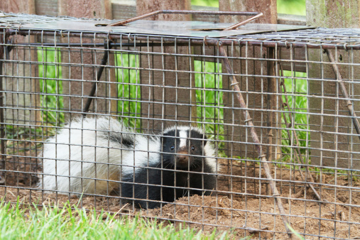 Young Skunk In Live Trap 460759479