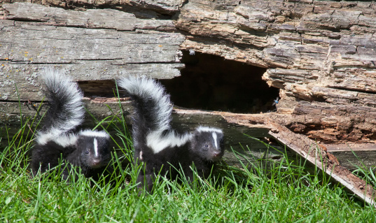 Young skunk pair 179007084