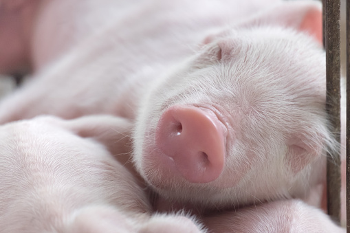 young sleeping pig, Piglet after sucking in shed. Sleep well after eating. 673604434