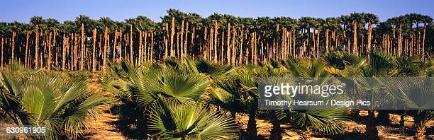 young, small california fan palms in the foreground with mature tall ones beyond on a tree farm in the coachella valley - timothy hearsum stock pictures, royalty-free photos & images