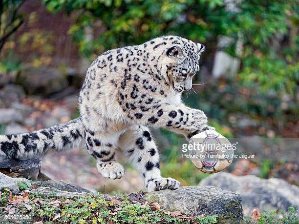 Young snow leopardess playing with ball