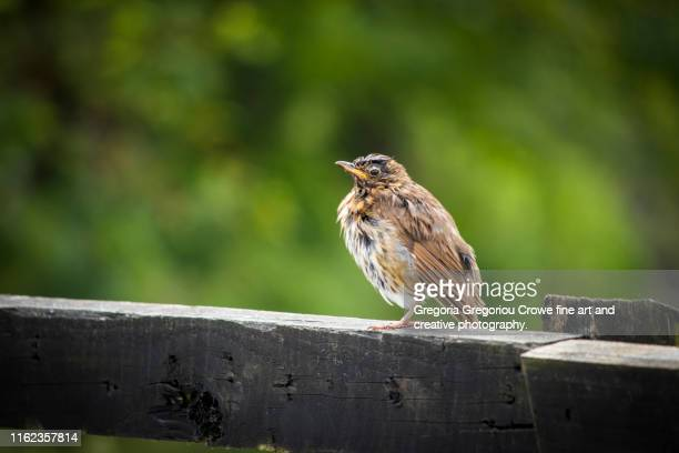young song thrush bird - gregoria gregoriou crowe fine art and creative photography stock pictures, royalty-free photos & images