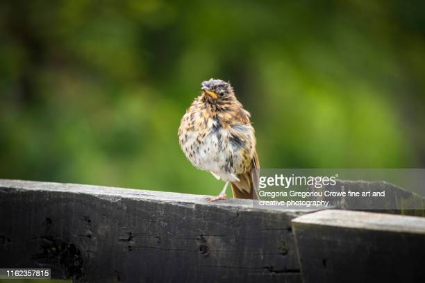 young song thrush bird - gregoria gregoriou crowe fine art and creative photography. stock pictures, royalty-free photos & images