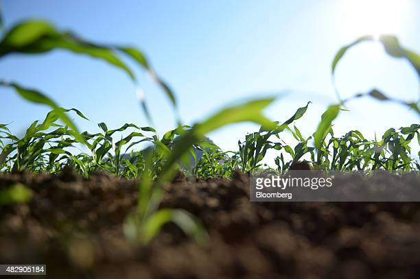 Young sorghum plants grow on farmland operated by Kimberley Agricultural Investment a subsidiary of Shanghai Zhongfu Group in Kununurra Australia on...