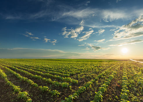 Young soybean crops at idyllic sunset 613894638