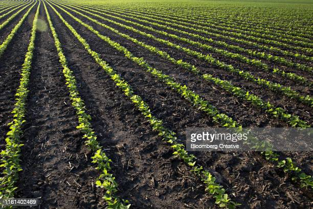 young soybean plants grow on a rural farm - soybean harvest stock pictures, royalty-free photos & images