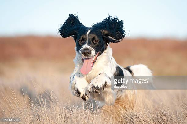 young spaniel off leash - spaniel stock photos and pictures