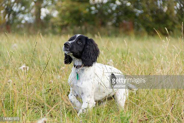 young spaniel pup standing in grassy field. - springer spaniel stock pictures, royalty-free photos & images