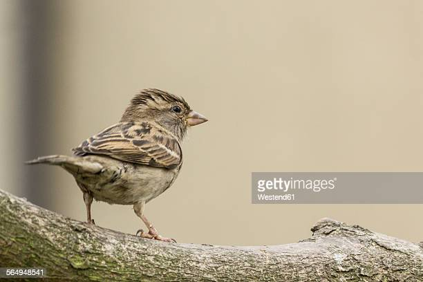 Young sparrow on a branch