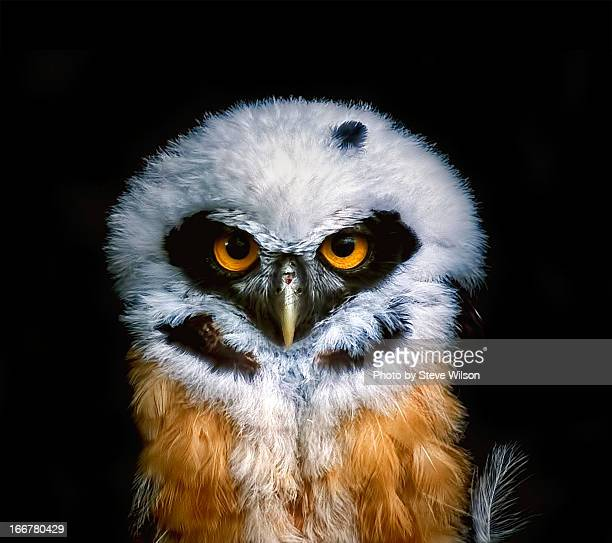 Young Spectacled Owl (detailed)