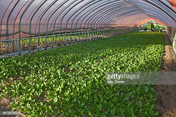 Young spinach plants in greenhouse
