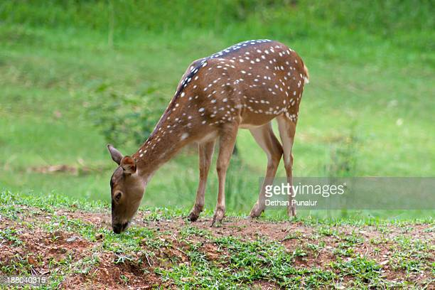 Young Spotted Deer (Axis axis)