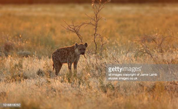 young spotted hyena backlit at sunset - spotted hyena stock pictures, royalty-free photos & images
