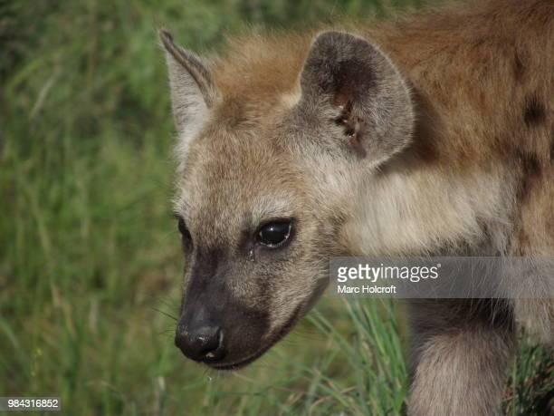 Young Spotted Hyena close-up portrait