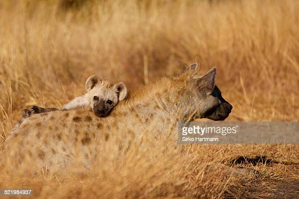 young spotted hyena -crocuta crocuta- looking out from behind lying mother, kruger national park, south africa - spotted hyena stock pictures, royalty-free photos & images