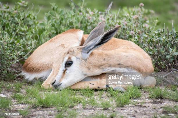Young Springbok resting