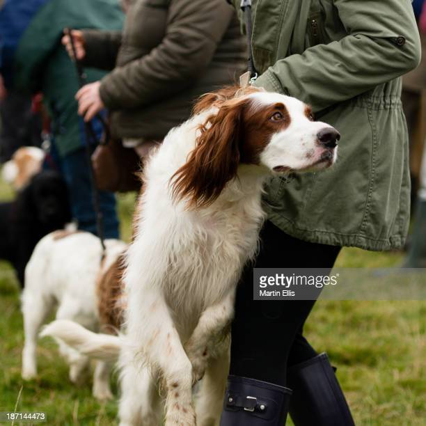CONTENT] A young Springer Spaniel proving to be a bit of a handful at the Alwinton Border Shepherd's Show 2013