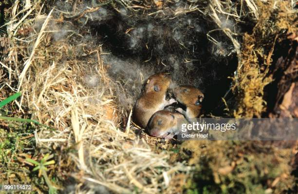 Young, still blind Bank Vole (Clethrionomys glareolus) in the nest, Allgaeu, Bavaria, Germany