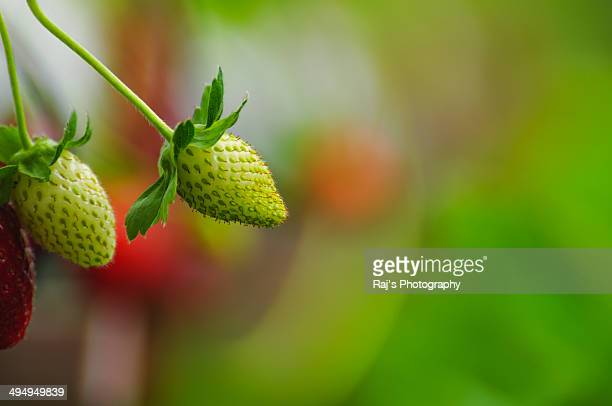 Young Strawberry