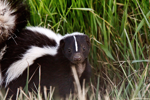 Young Striped Skunk in roadside ditch 485589061